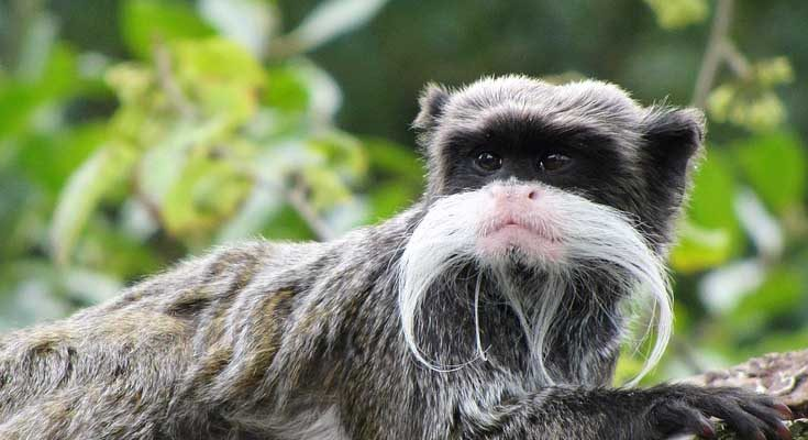 ลิงแทมมารินจักรพรรดิ