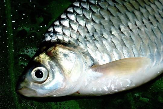 ปลาตะเพียนขาว