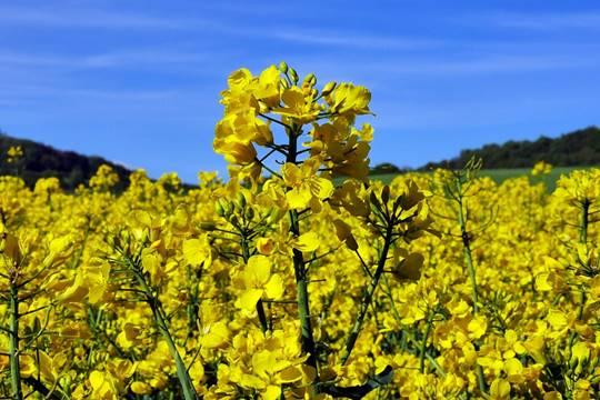 ดอก rapeseed