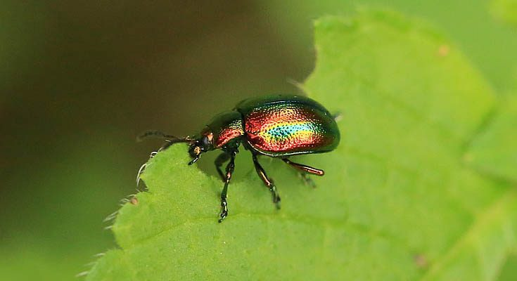 Rainbowleafbeetle