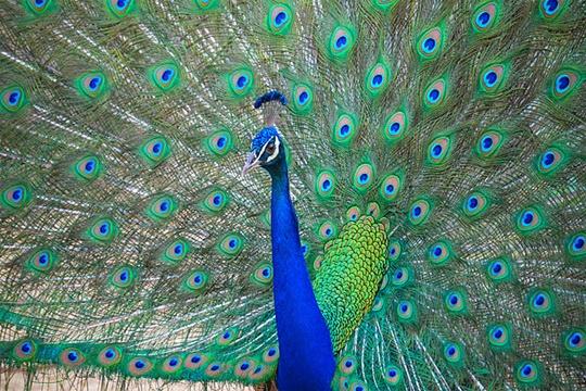 นกยูงอินเดีย (Indian peafowl) มีชื่อวิทยาศาสตร์ว่า Pavo cristatus