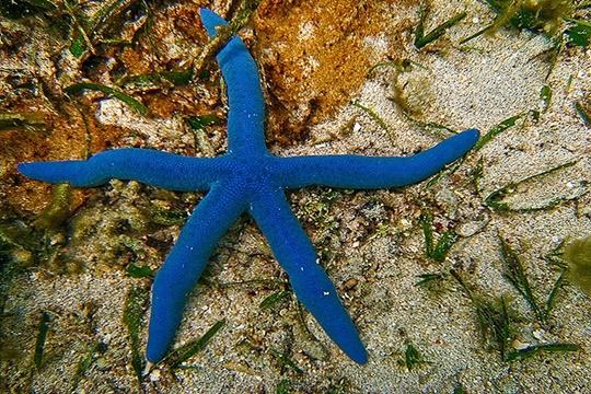 ดาวทะเลสีน้ำเงิน (Blue Linckia) มีชื่อวิทยาศาสตร์ว่า Linckia laevigata