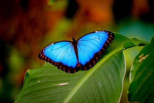 ผีเสื้อมอร์โฟ (Morpho) ผีเสื้อในตระกูลนี้มักเรียกอีกชื่อว่า ผีเสื้อมอร์โฟสีน้ำเงิน (blue morpho)